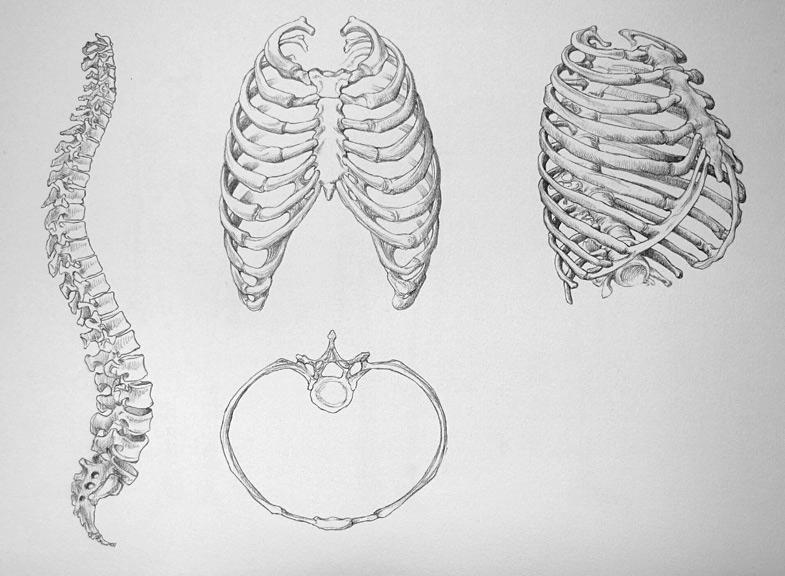 vertebrae drawing wwwpixsharkcom images galleries