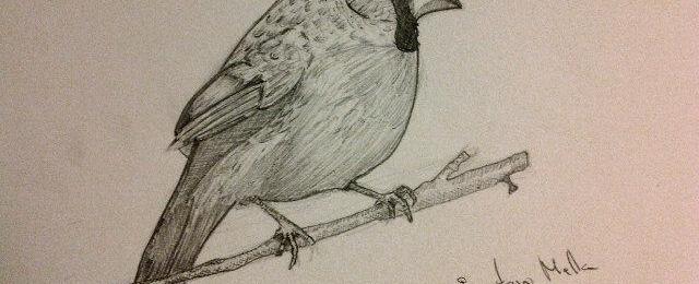 Cardenalis drawing